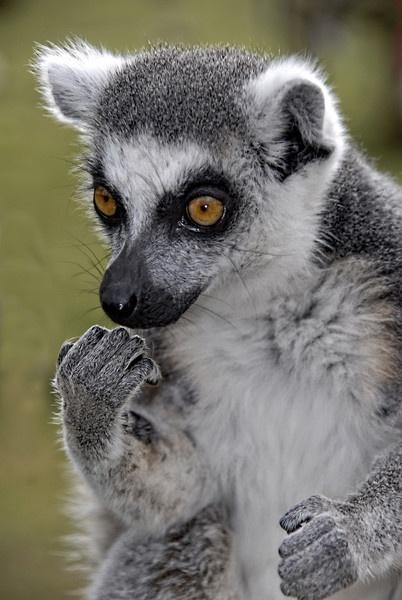 Lemur ( Hope the nail polish is dry ) by Mandi