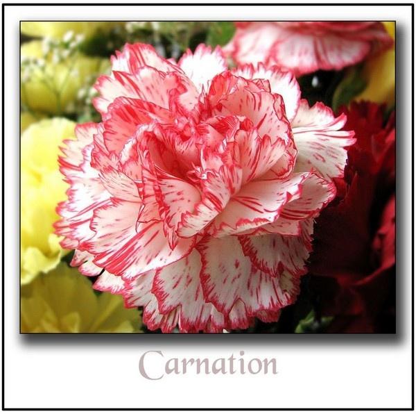 Carnation,, by rolandb1952
