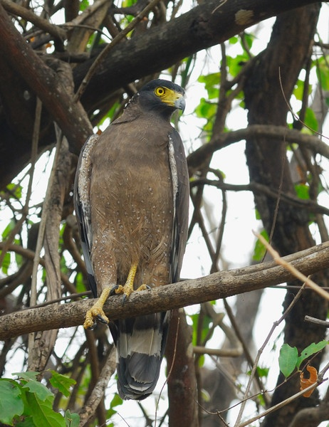 Eagle by nishchal