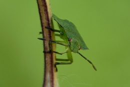 Little green shield bug