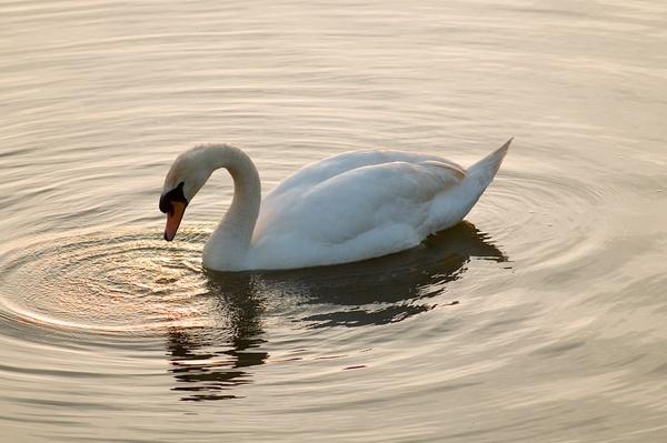 Swan by celtxian