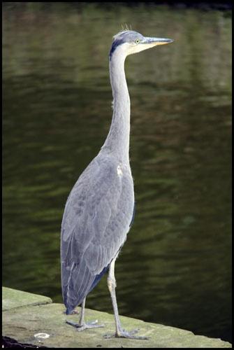 Heron by tabby