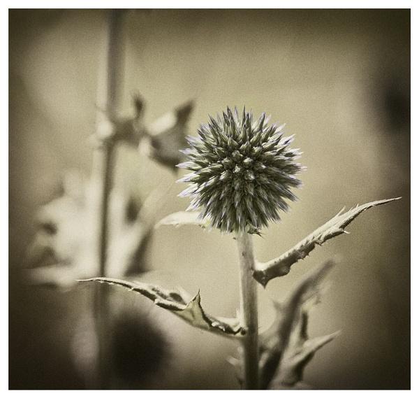 Echinops by Sue_R