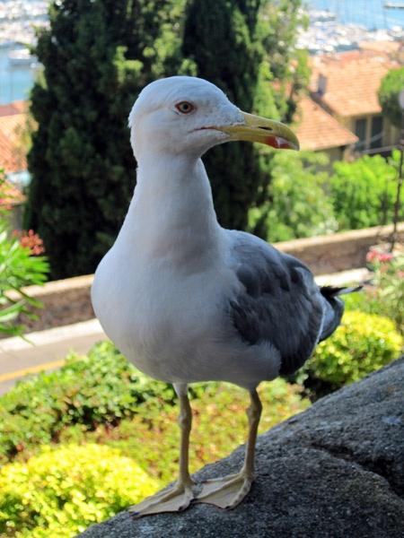 French Gull by Redbull