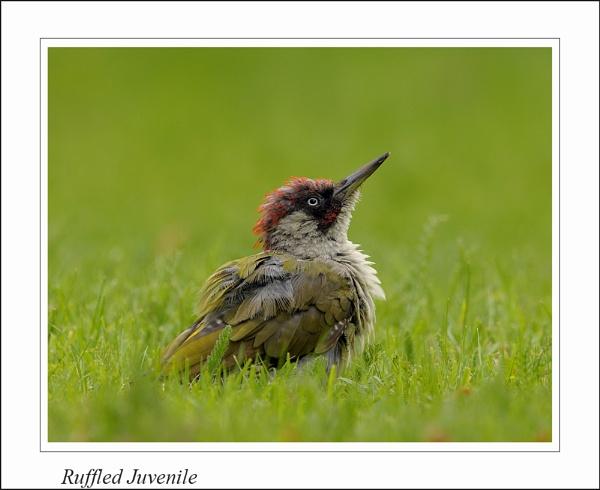 Ruffled Juvenile by Gezina