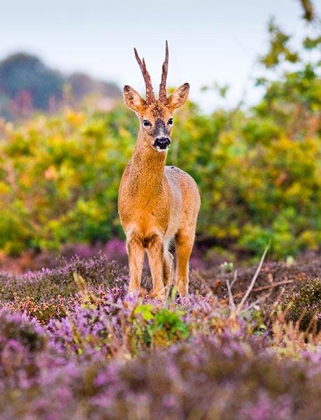 Roe Buck at Dawn by alecs