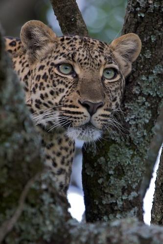 Leopard by Scorpio74