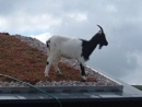 goats on the roof  cafe    northumberland