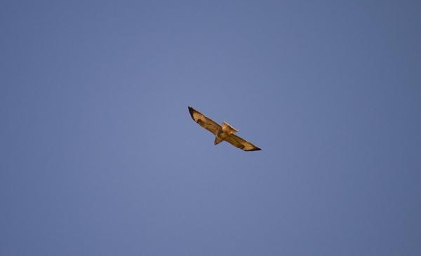 hawk by stulfc