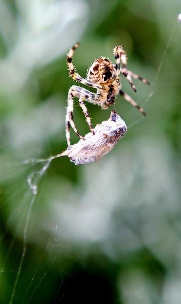 Spider dinner by Londonmackam