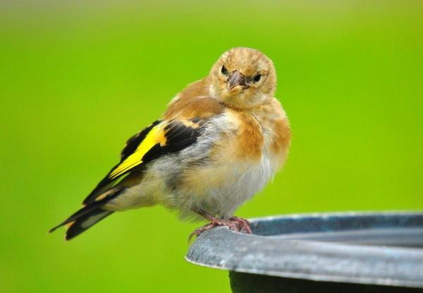 Baby Goldfinch by tobara17