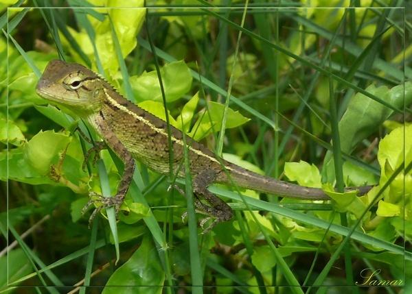Garden Lizard by samarmishra
