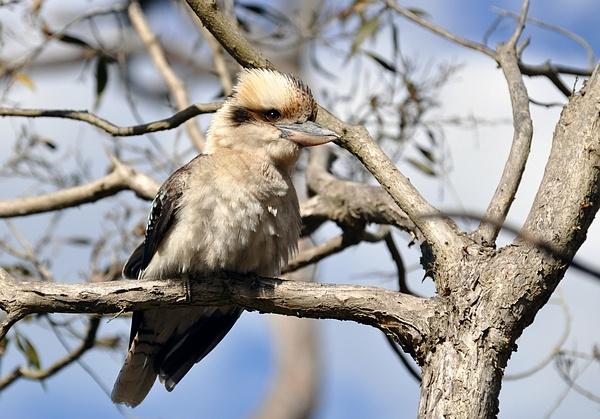 Laughing Kookaburra by danwhite11