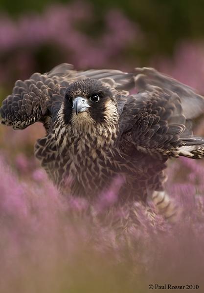 Perigrine Falcon 2 by paulrosser