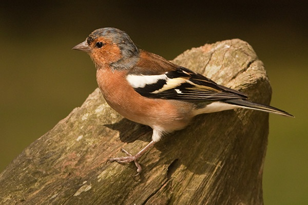 Chaffinch by Brian65