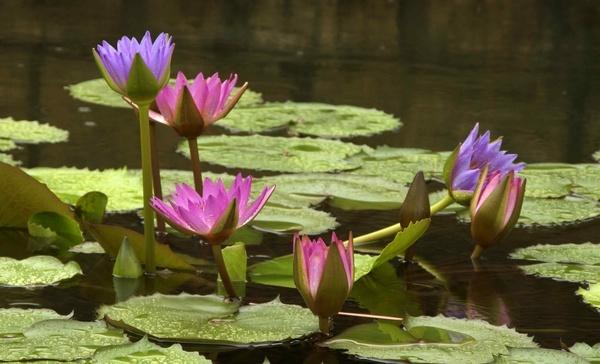 lotus by gjayesh