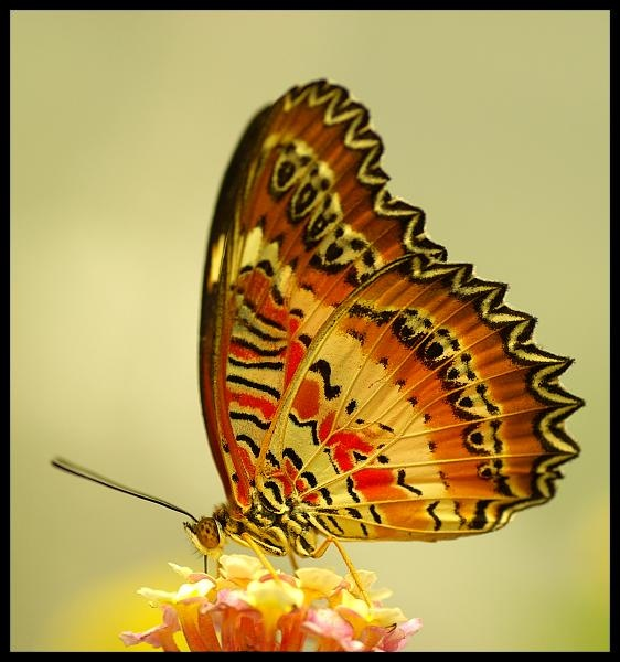 unidentified tropical butterfly by Beanie76