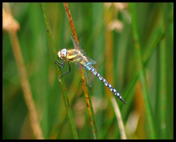 Blue dragonfly by alianar