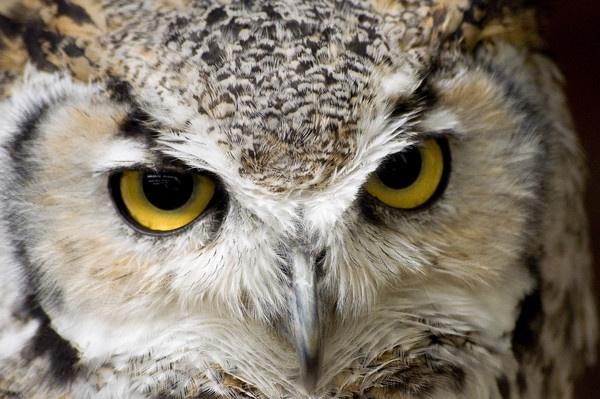 eagle owl by wisp