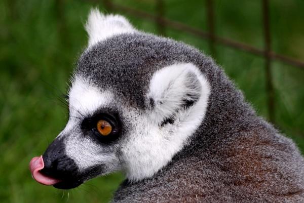 Ring Tailed Lemur by Louise_Morris