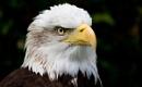 Eagle Portrait by mark_bullen