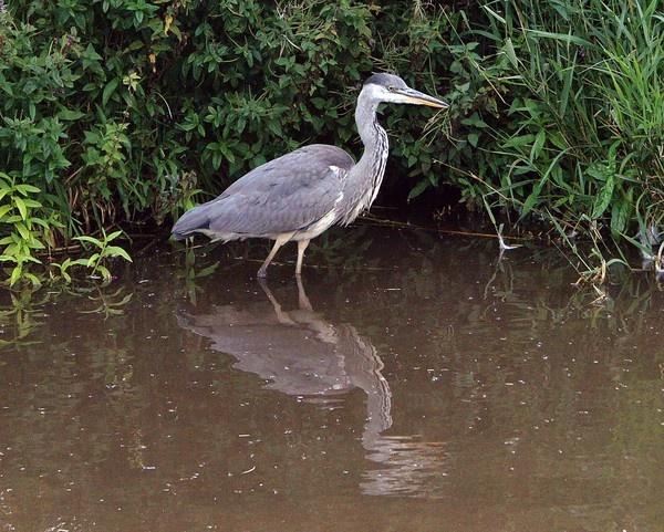 Heron Stalking by janeil