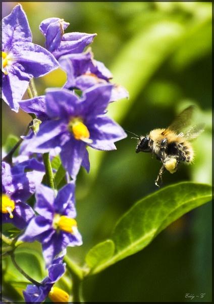 Honey B by EddyG