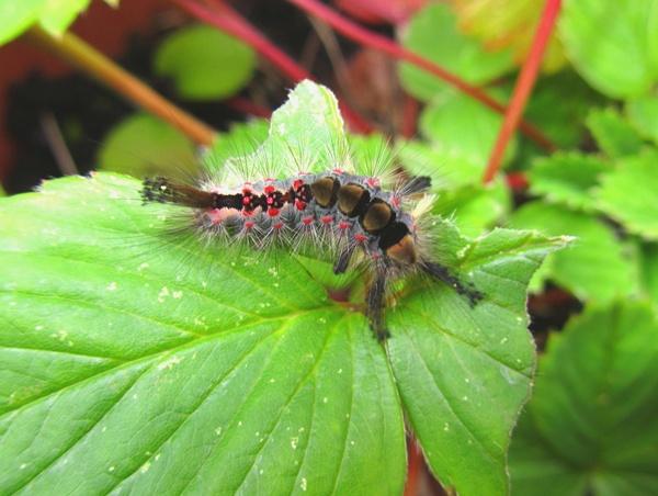 Vapourer Moth Caterpillar by iscramble