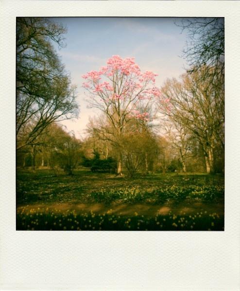 Polaroid Magnolia by cmorton