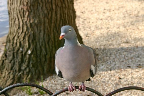 Pigeon St. James\' Park by trickster