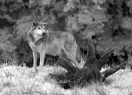 Wolf IR
