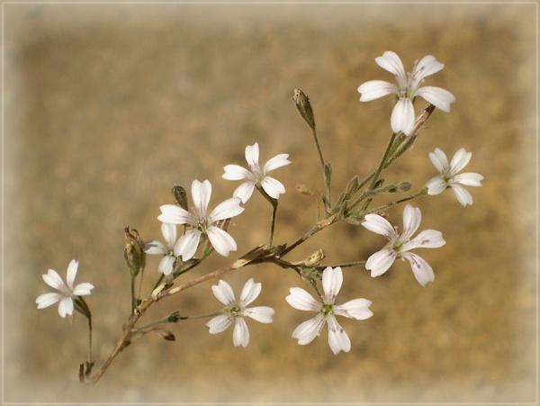 white stars by CarolG