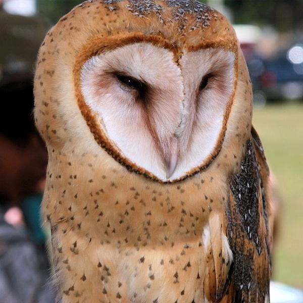 Owls galore by chuckspics