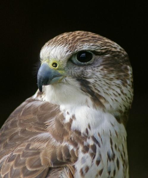 Saker Falcon by Cabit