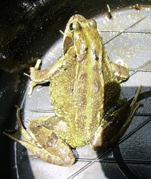 Sir Toad by brightspark