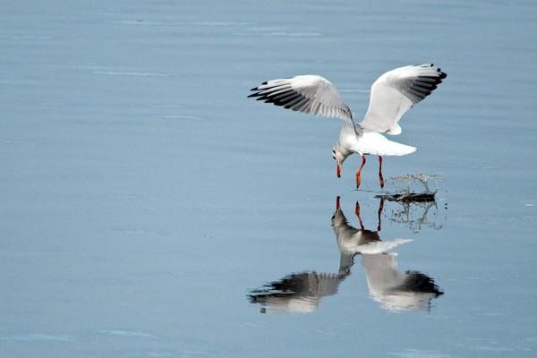 Black  Headed Gull by ger395