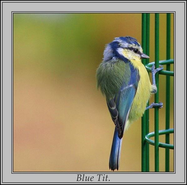 Blue Tit. by Dee73
