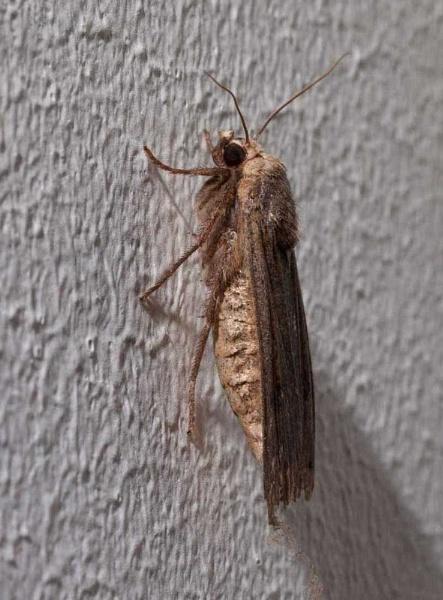 Moth by HuntedDragon