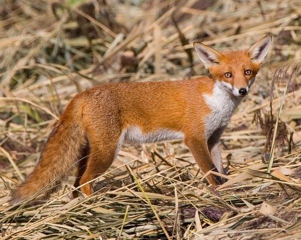 Fox. by targetman