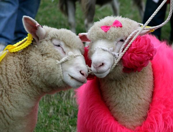 Looking a bit Sheepish by pennyspike