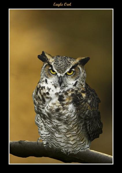 Eagle Owl by Snapitt