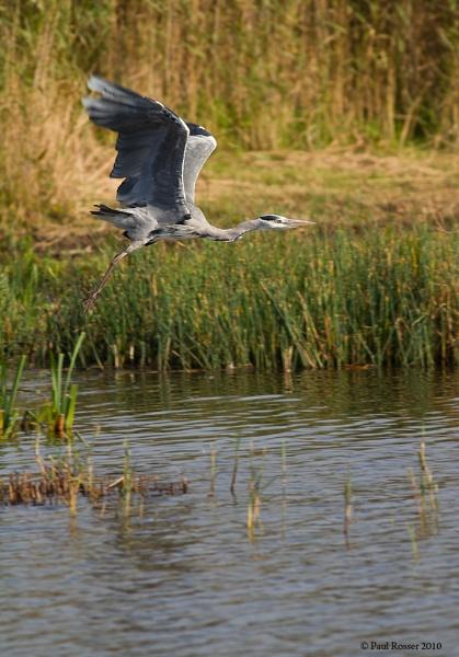 Heron In Flight by paulrosser