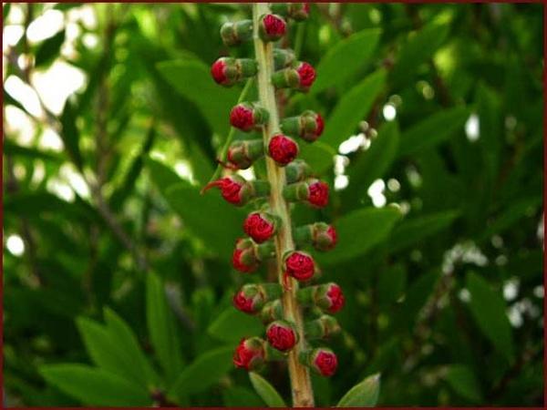 Bottlebrush Buds by csopi