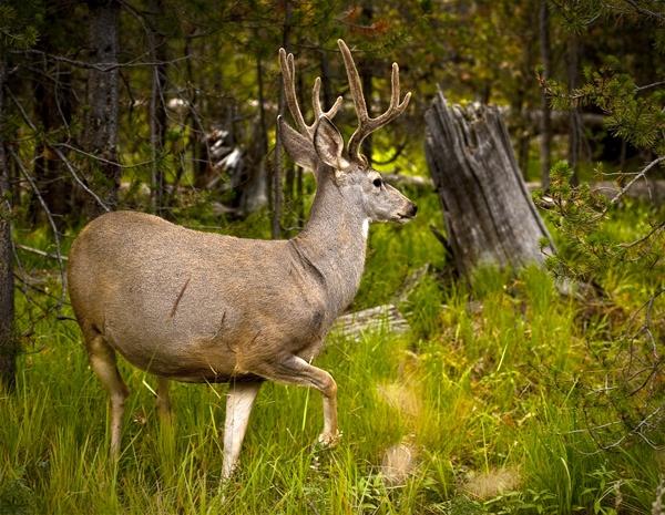 deer by aneta