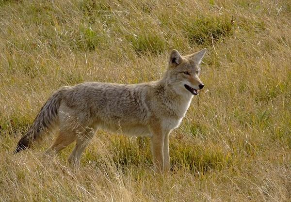 Coyote by aneta