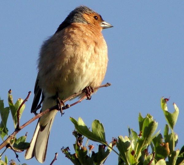 Finch by hughsey