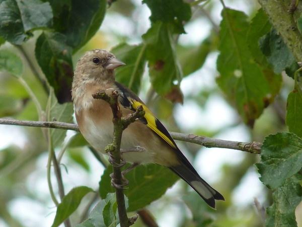 Goldfinch Juvanile by CallumThomas