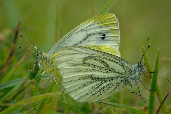 Green veined white by saltholme