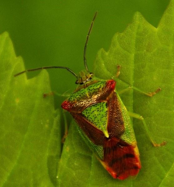 Bug on a green leaf by Hardwicke