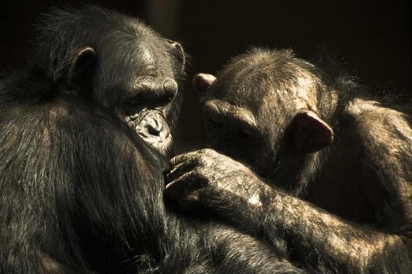 chimps by wisp